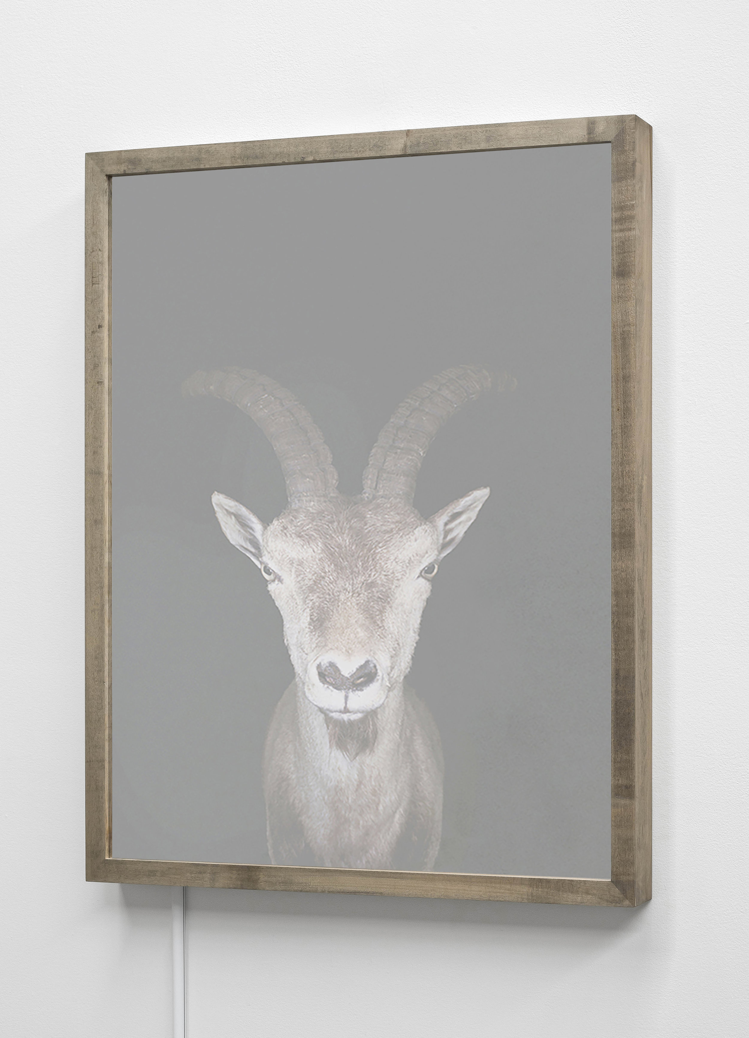 CHRISTINA SEELY  Spanish Ibex,  Capra pyrenaica - Vulnerable Kinetic Mirrored Lightbox  Available sizes: 30 x 24 in | Edition of 3 + 1AP 20 x 16 in | Edition of 3 + 1AP