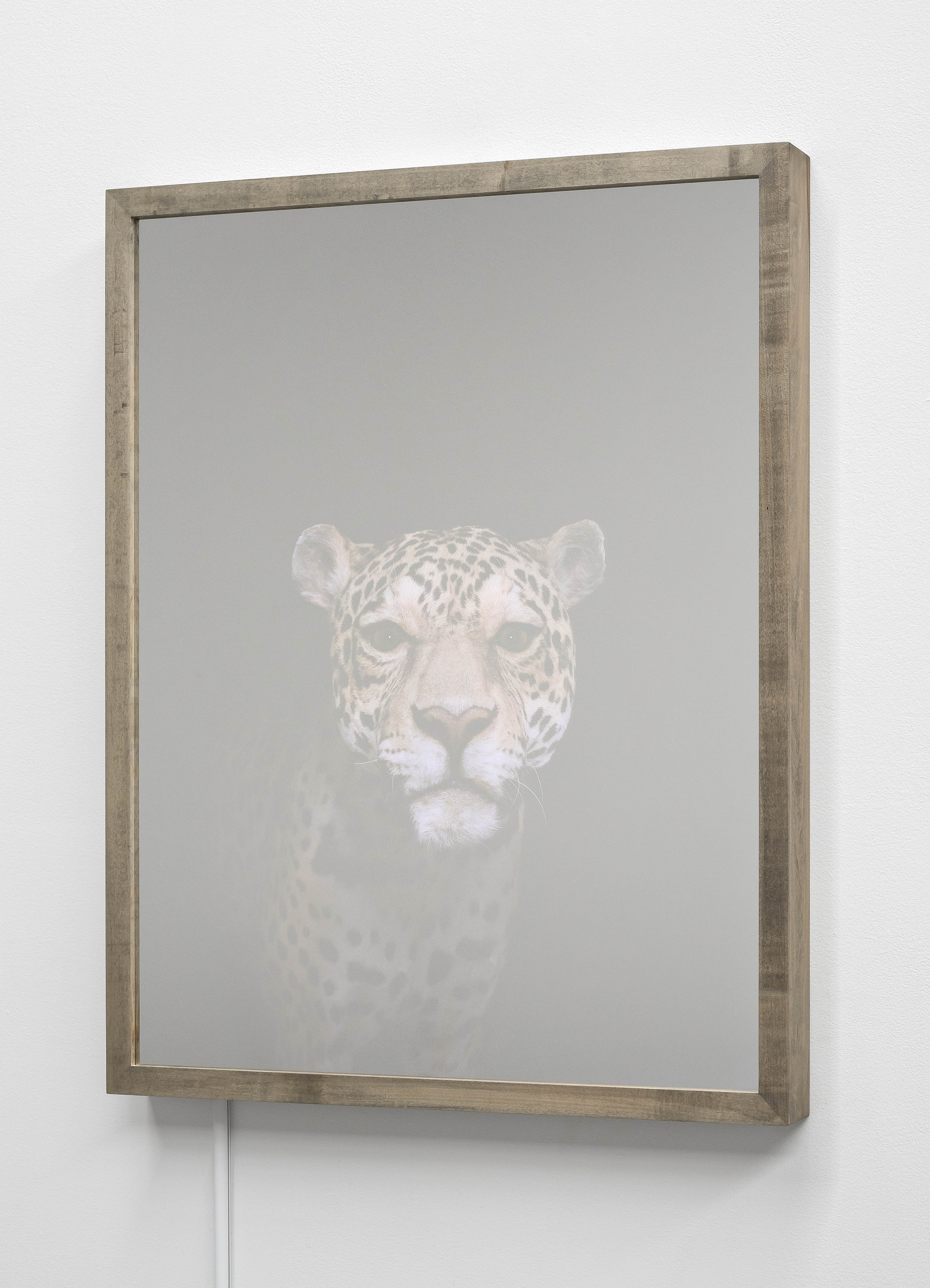 CHRISTINA SEELY Jaguar, Panthera onca - Near Threatened Kinetic Mirrored Lightbox  Available size:  30 x 24 in | Edition of 3 + 1AP 20 x 16 in | Edition of 3 + 1AP