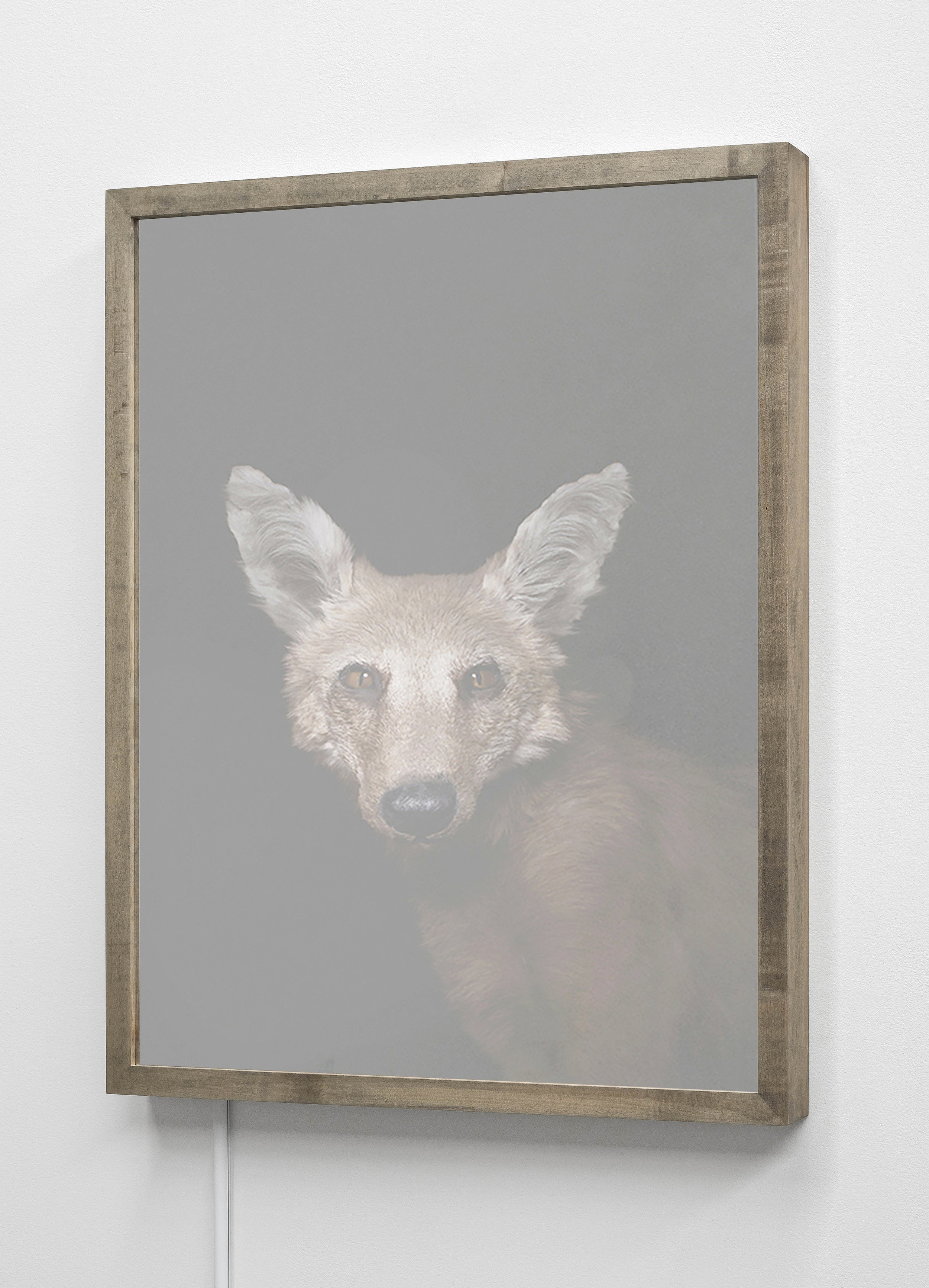CHRISTINA SEELY  Maned Wolf , Chrysocycon brachyurus - Near Threatened Kinetic Mirrored Lightbox  Available sizes: 30 x 24 in | Edition of 3 + 1AP 20 x 16 in | Edition of 3 + 1AP