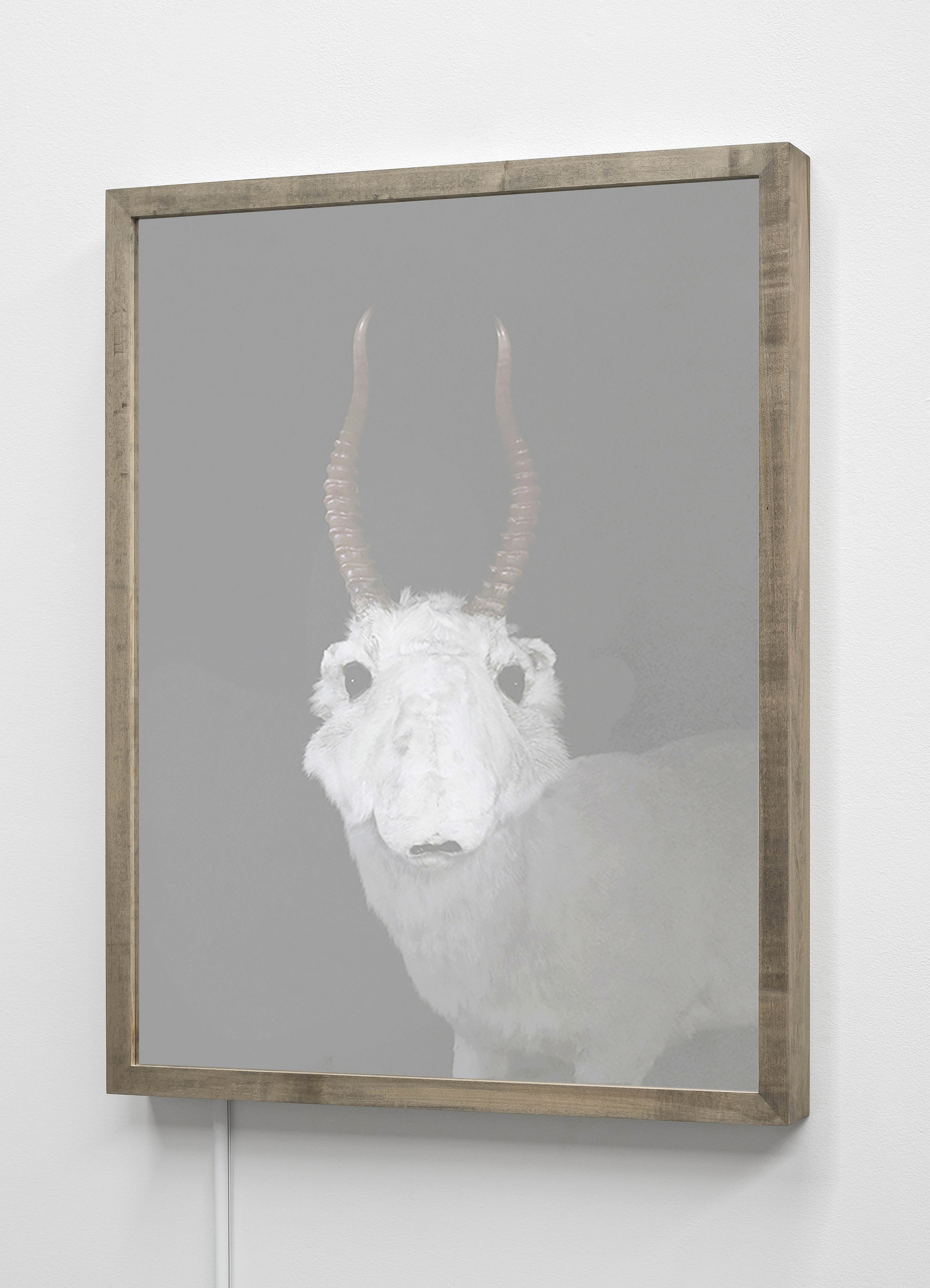 CHRISTINA SEELY  Saiga Antelope,  Saiga tatarica - Critically Endangered Kinetic Mirrored Lightbox  Available size:  30 x 24 in | Edition of 3 + 1AP 20 x 16 in | Edition of 3 + 1AP