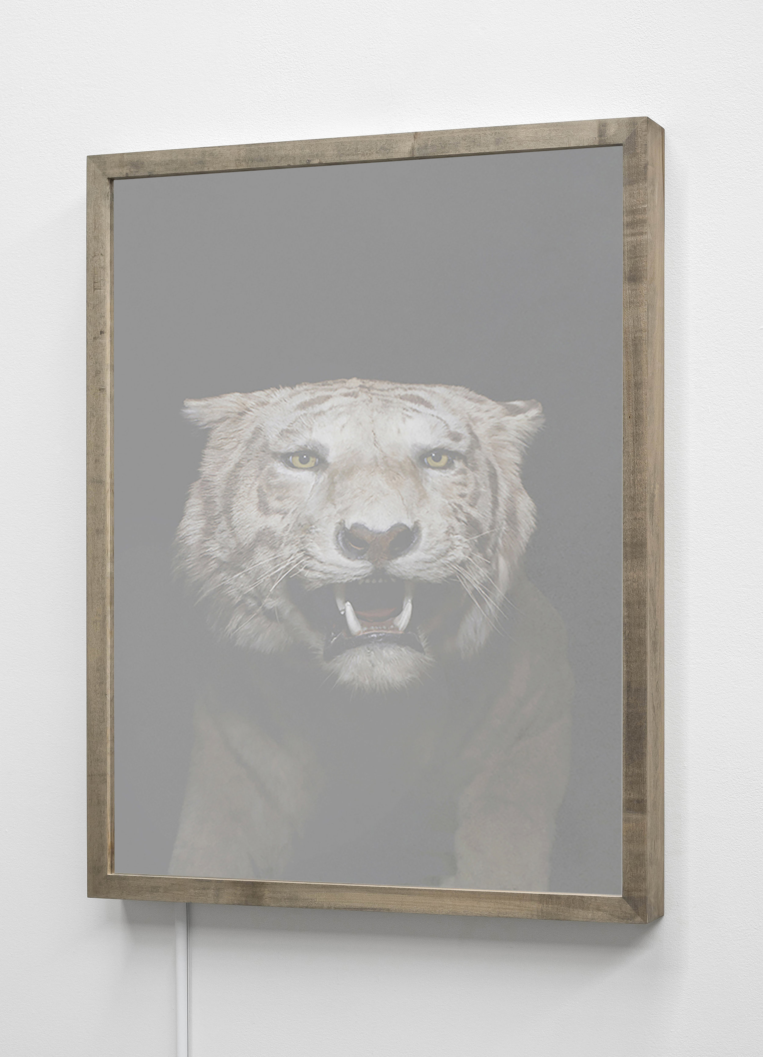 CHRISTINA SEELY  Siberian Tiger,  Panthera tigris altaica - Endangered Kinetic Mirrored Lightbox  Available sizes: 30 x 24 in | Edition of 3 + 1AP 20 x 16 in | Edition of 3 + 1AP