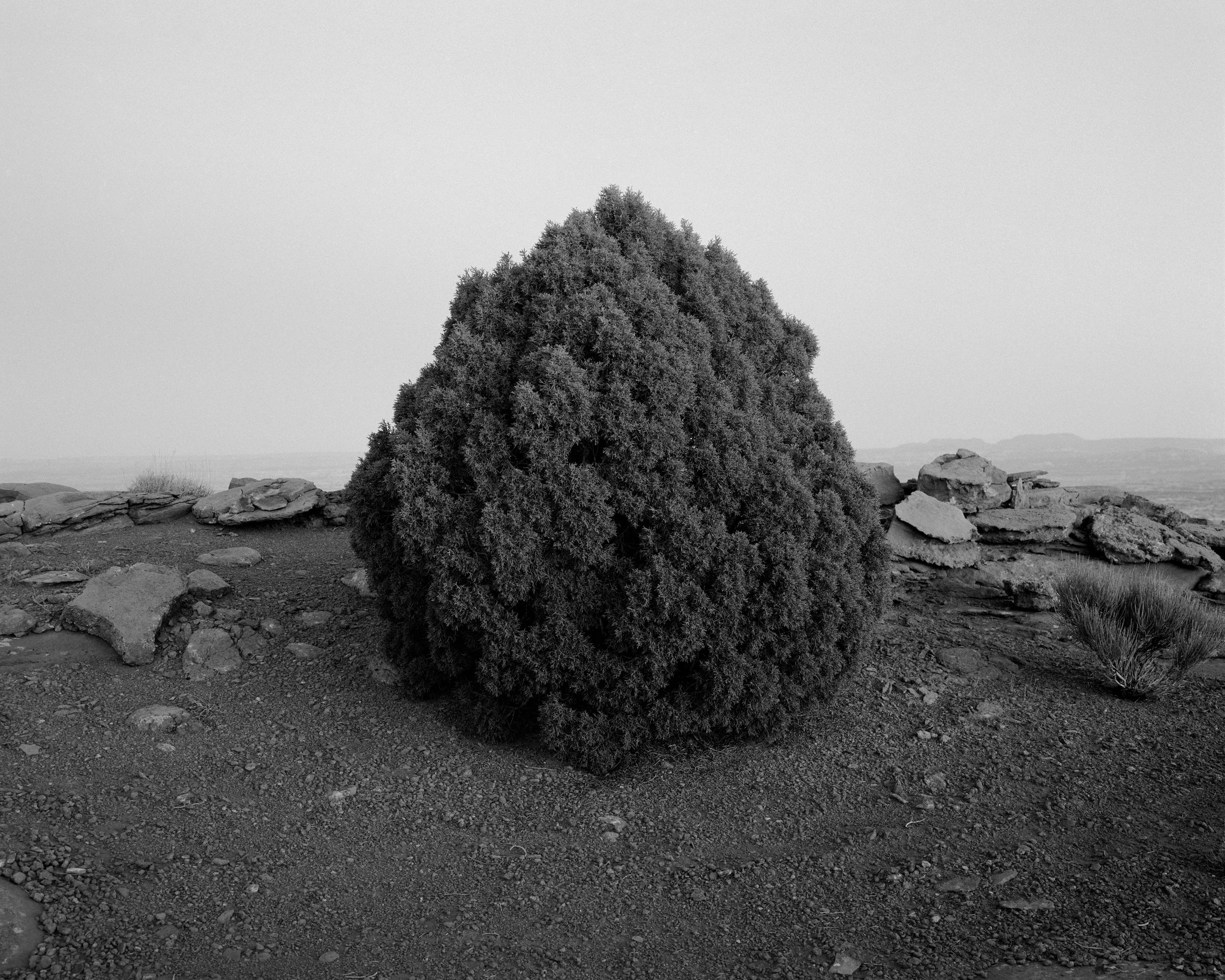 MICHAEL LUNDGREN  Juniper, 2003  Gelatin Silver Print  Available sizes 20 x 24 in, ed. 10 + 2AP 32 x 40 in, ed. 3 + 1AP