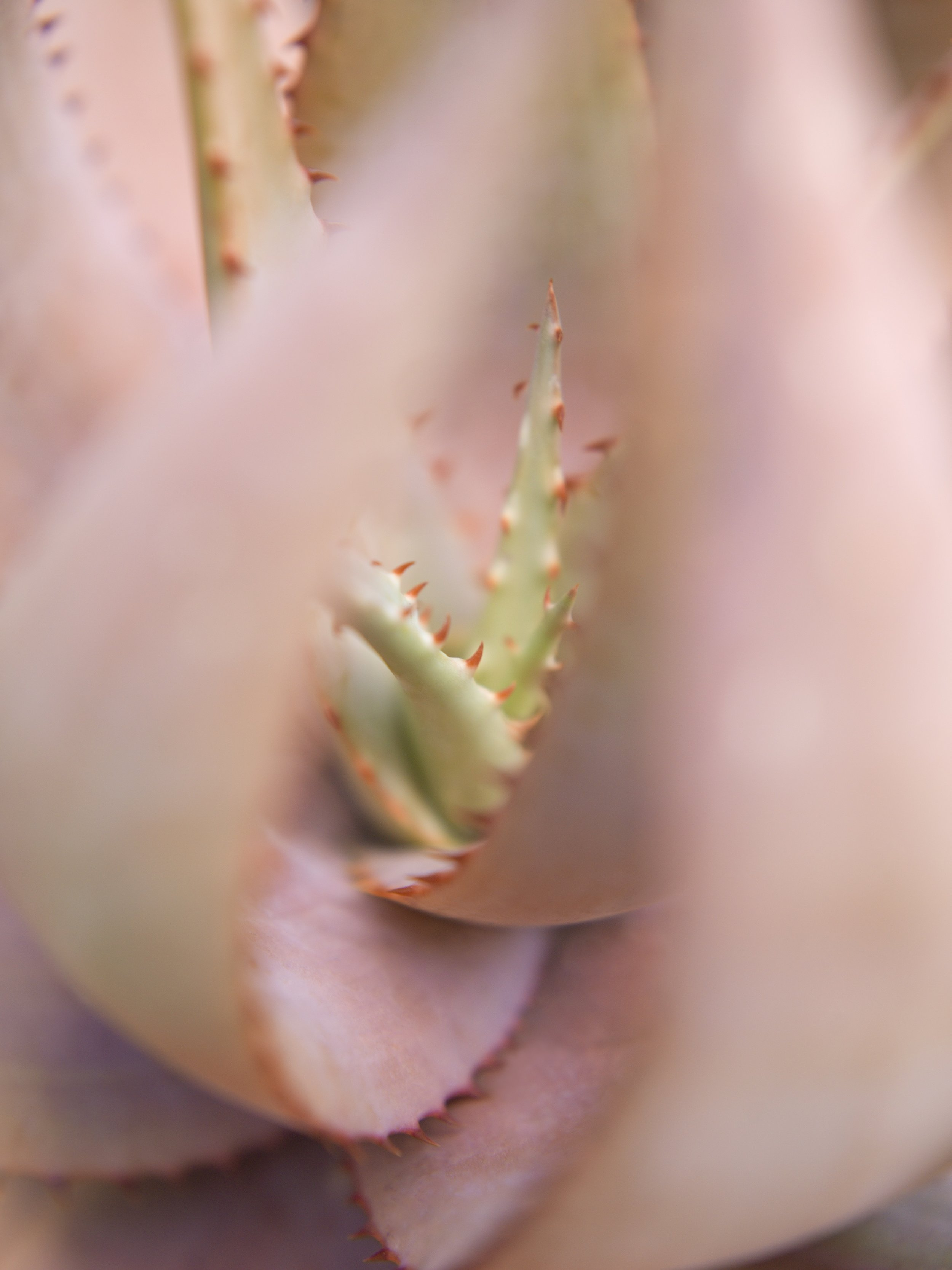 MONA KUHN  Succulents 06,  2018 Chromogenic metallic archival print  Available sizes:  40 x 30 inches, edition of 8 + 2AP 60 x 45 inches, edition of 5 + 1 AP