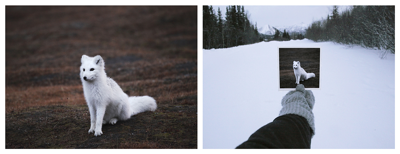 CHRISTINA SEELY Defluo Animalis . Vulpes Lagopus Diptych, 2011 Archival Inkjet Prints SET: 2 at 16 x 20 inches, Edition of 5 +1AP  About: LFT: The arctic fox, Vulpes Lagopus ,is a coat changing species now out of synch with new climate patterns leaving it bright white and vulnerable on the brown tundra for weeks at a time on each end of the winter coat changing season. RT: Ode to photographer Kenneth Josephson, the fox is 're-placed' in its proper snowy arctic scape.