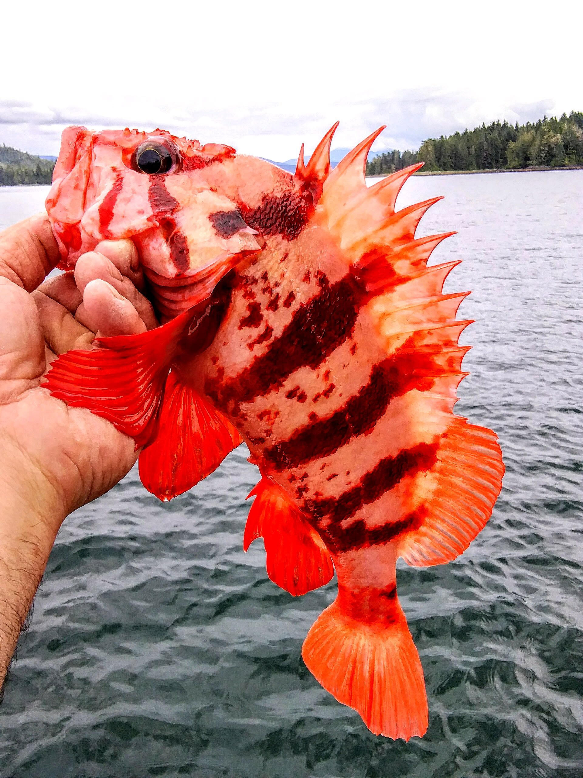 Tiger Rockfish.jpg