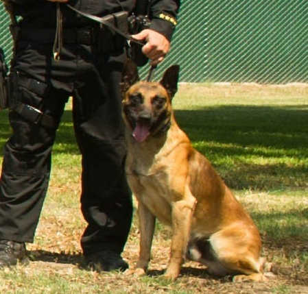 K9 Credo;  Photo: Long Beach Police Dept.