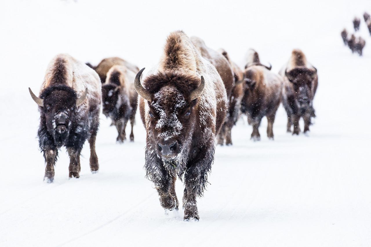 bison-2237654_1280.jpg