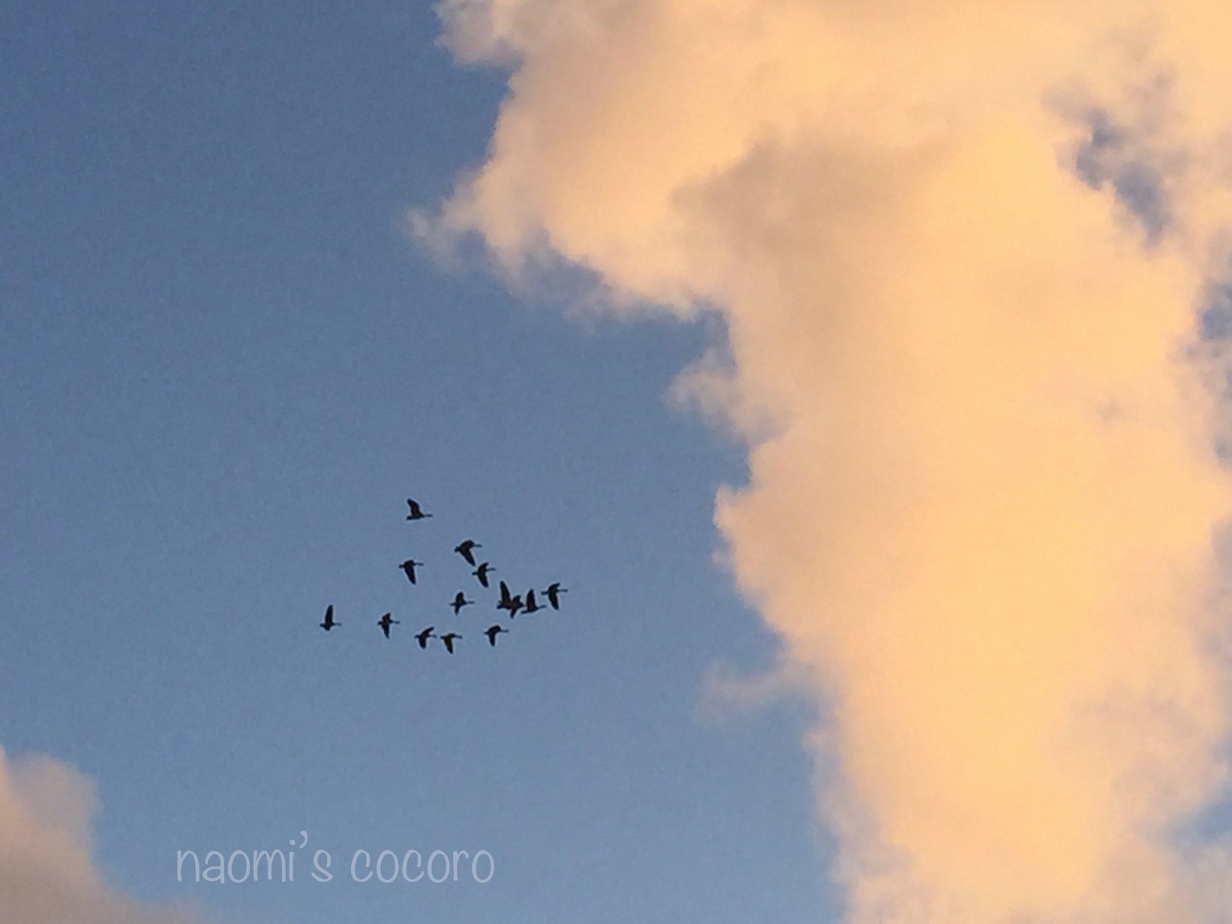 ハワイ州鳥 ネネ。こんなに大きな群れは見たことがなかった。