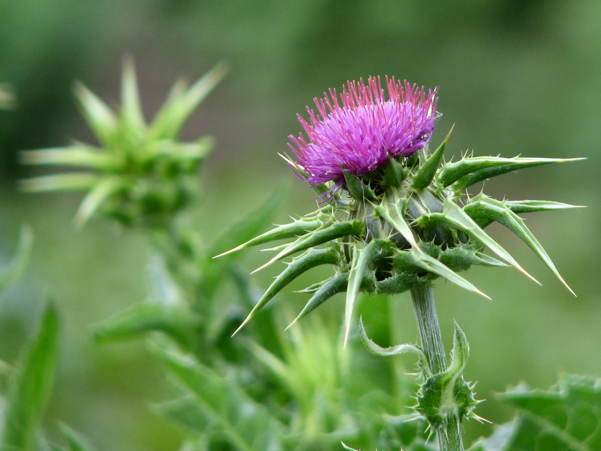 Carduus Marianus , commonly known as Milk Thistle, is a common homeopathic remedy for liver ailments.