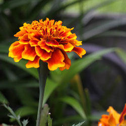 Calendula Officinalis (Marigold) used for burns and injuries to the skin.