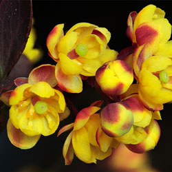 Berberis Vulgaris (Barberry) used for liver or kidney issues.