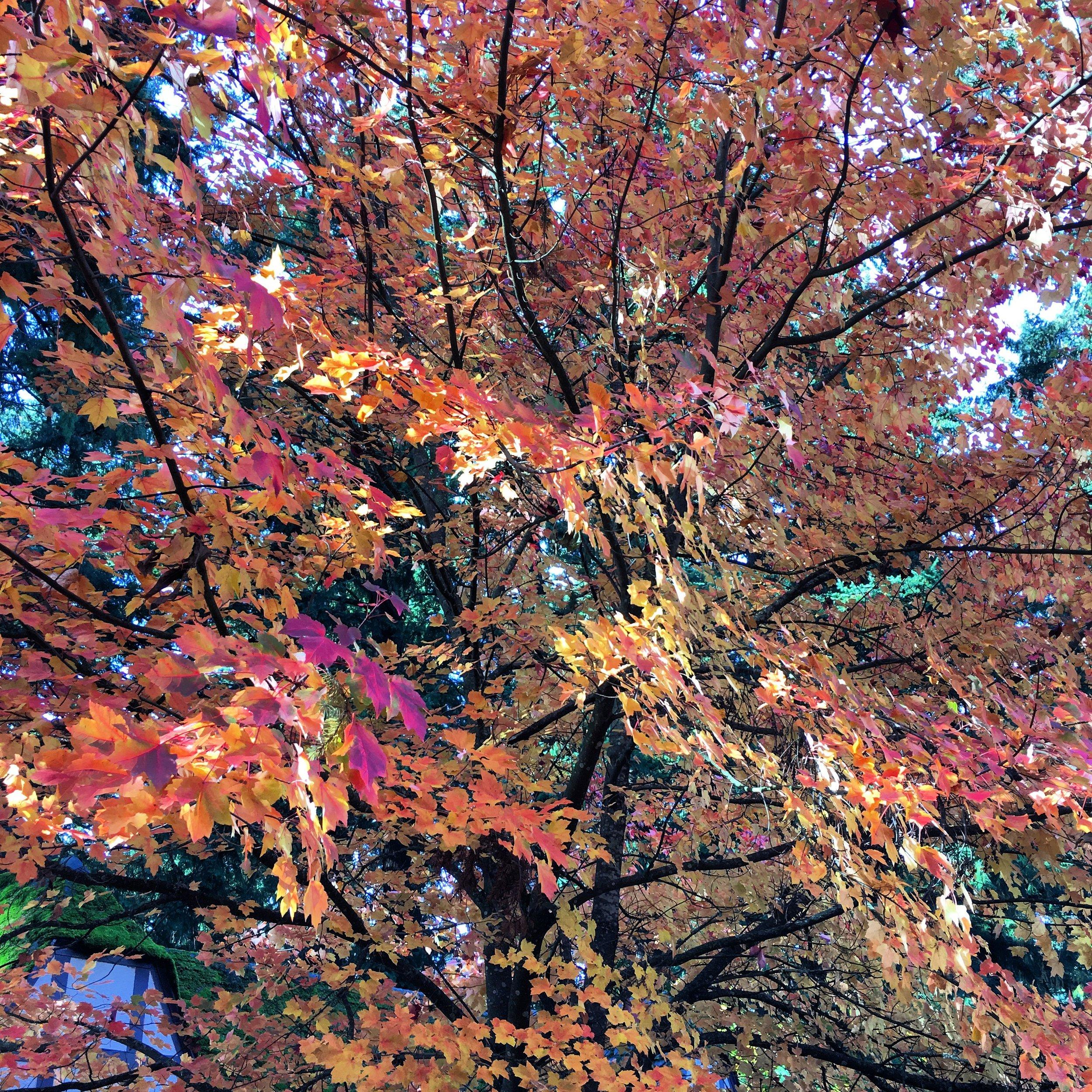Fall leaves Portland.JPG