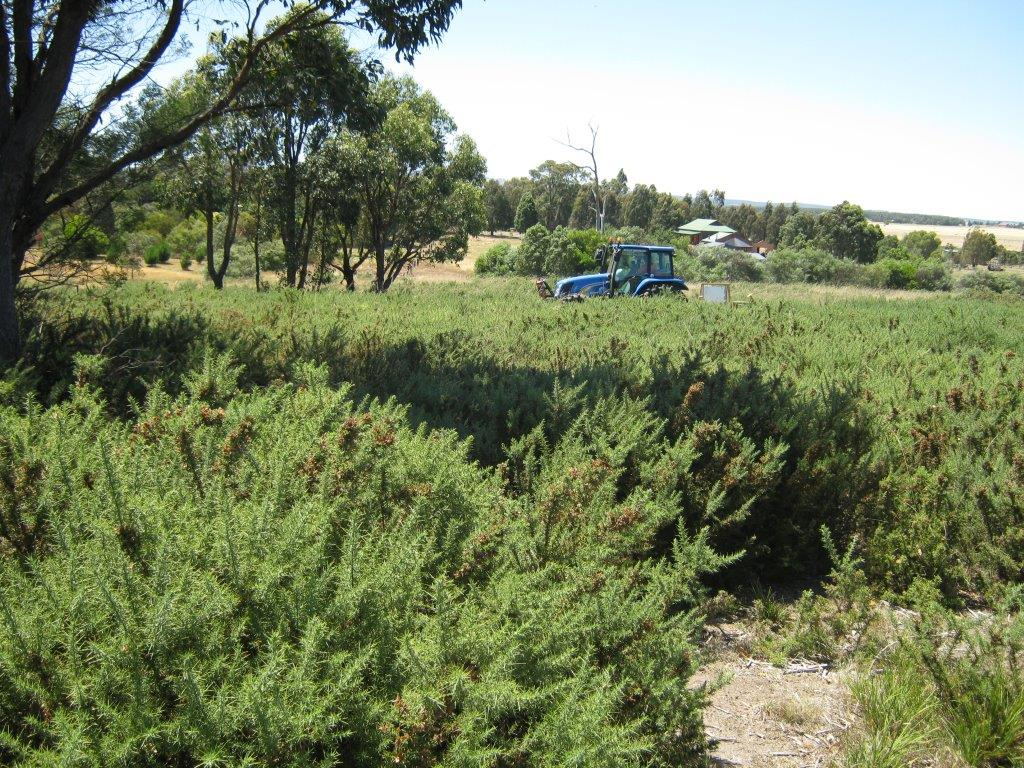 This badly infested site at Smythes Creek near Ballarat was cut and treated using the Ecoblade. The site was then sold for subdivision whereas the owners had been unable to see the property due to the gorse infestation.