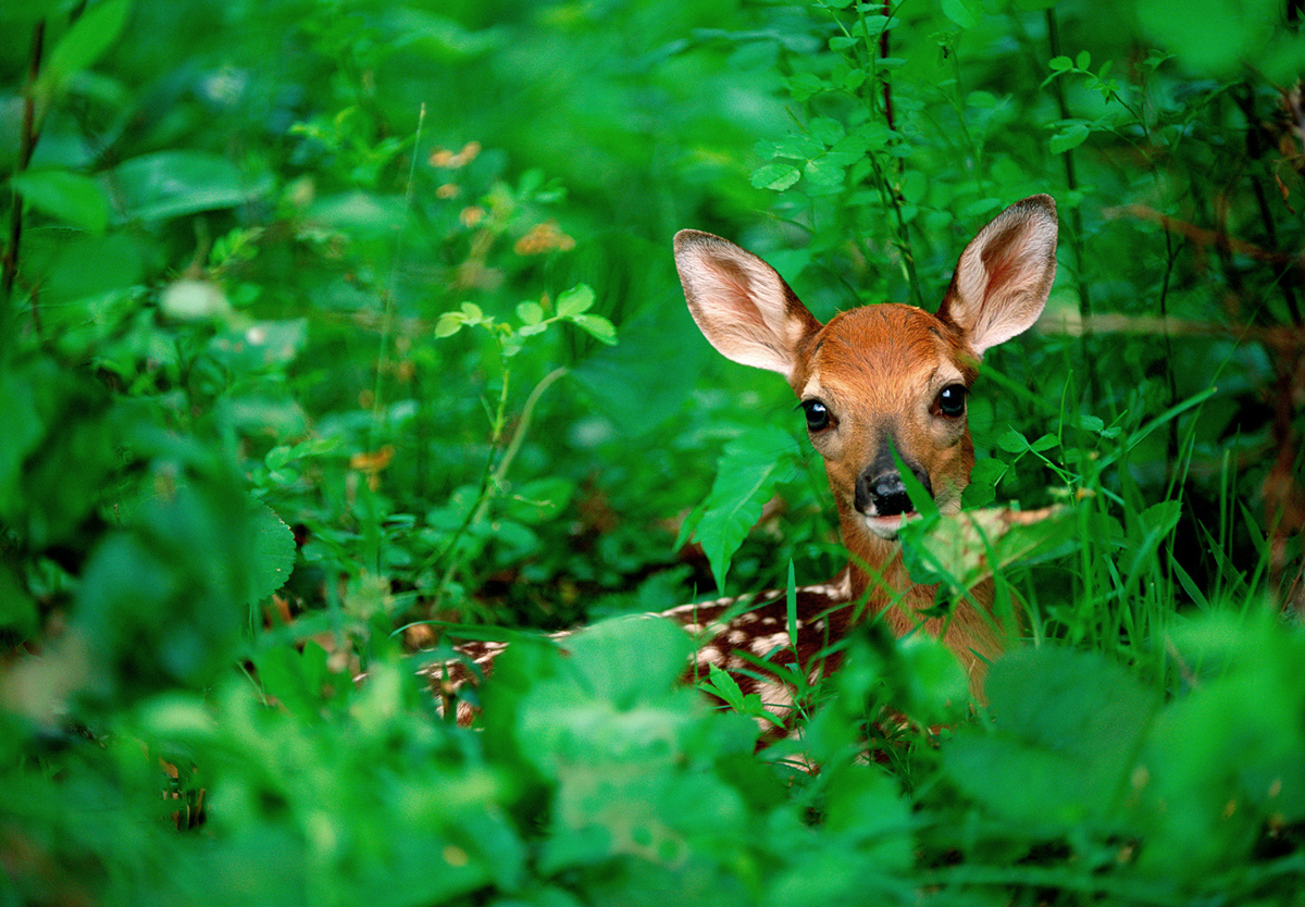 4-White-tailed Fawn.jpg