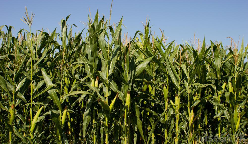 corn-stalks.jpg