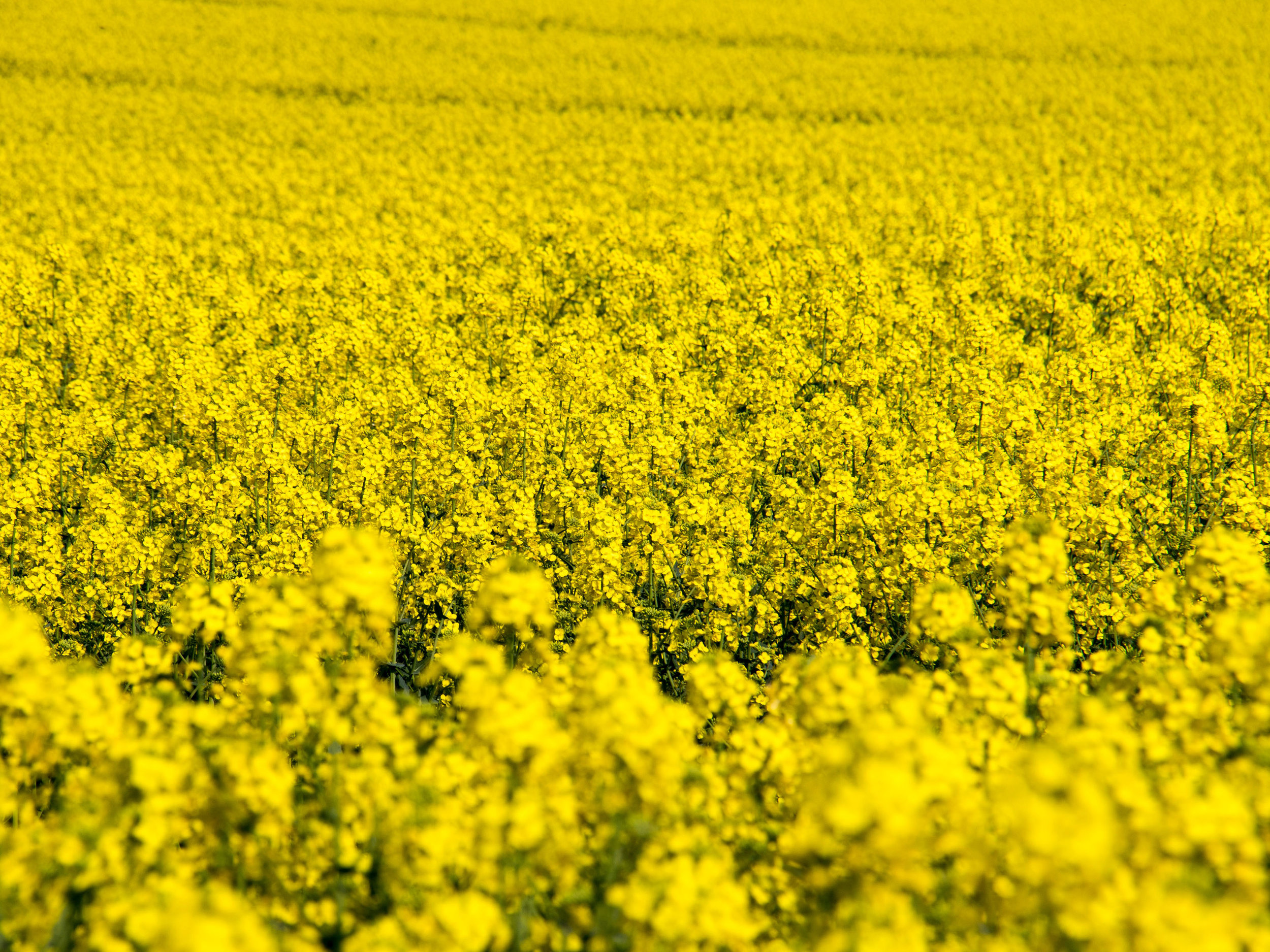Oilseed Rape - Download Crop Programme