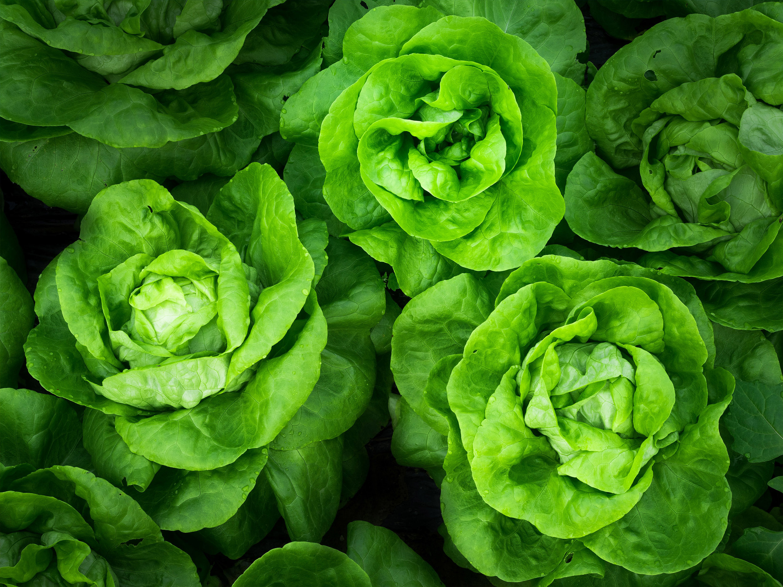 Leafy Salads - Download Crop Programme