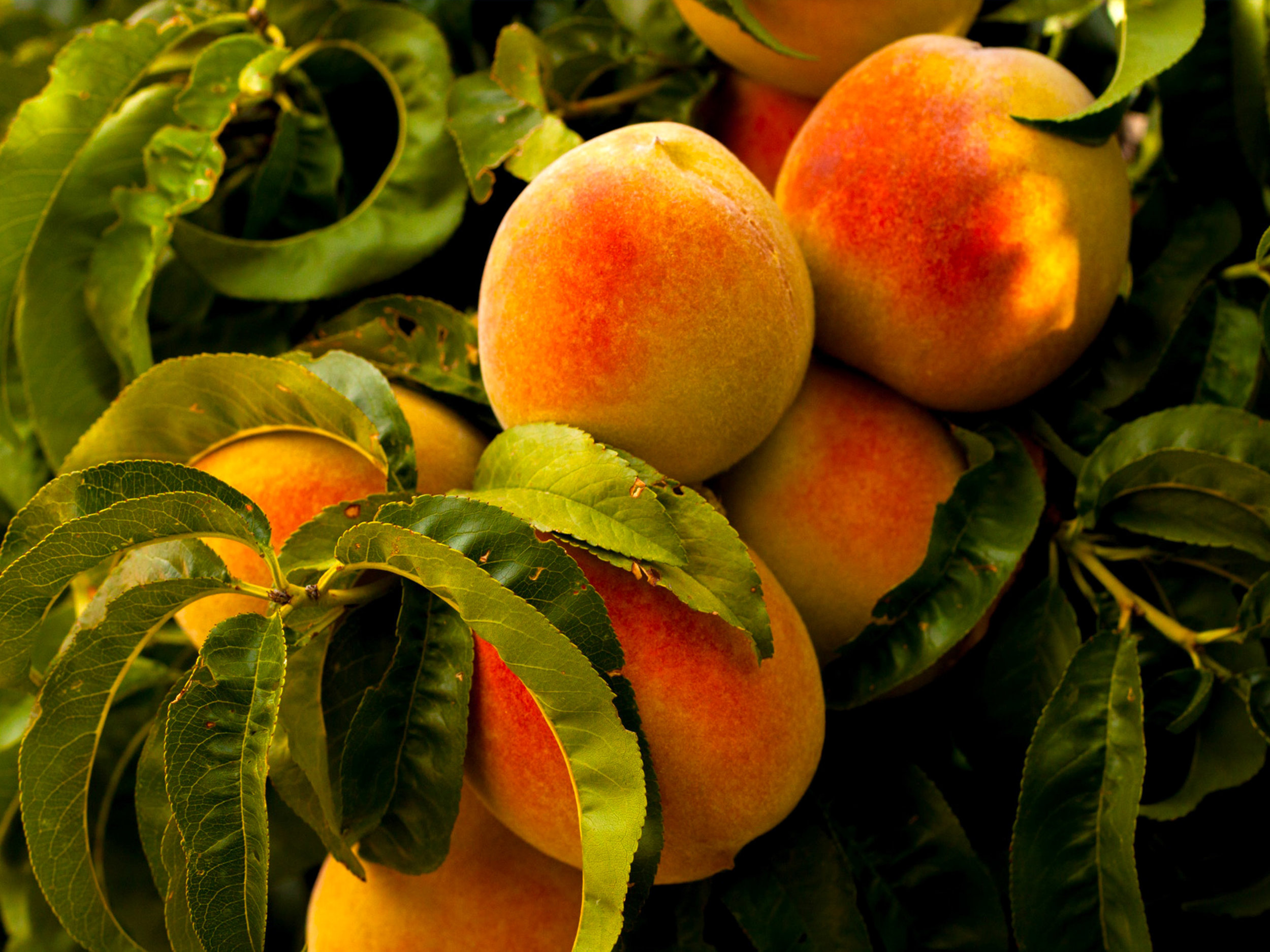 Stone Fruit - Download Crop Programme