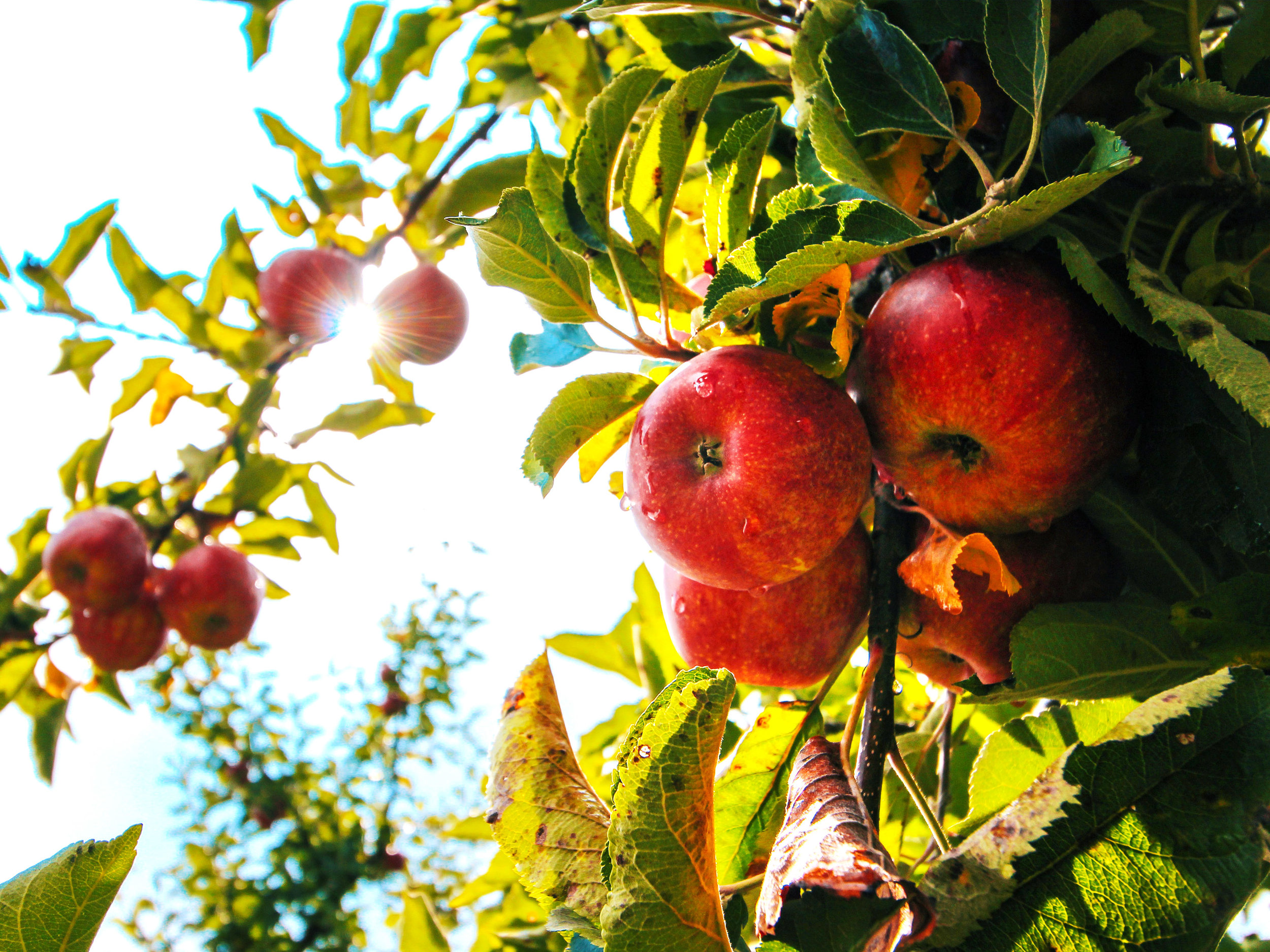 Cider Apples - Download Crop Programme