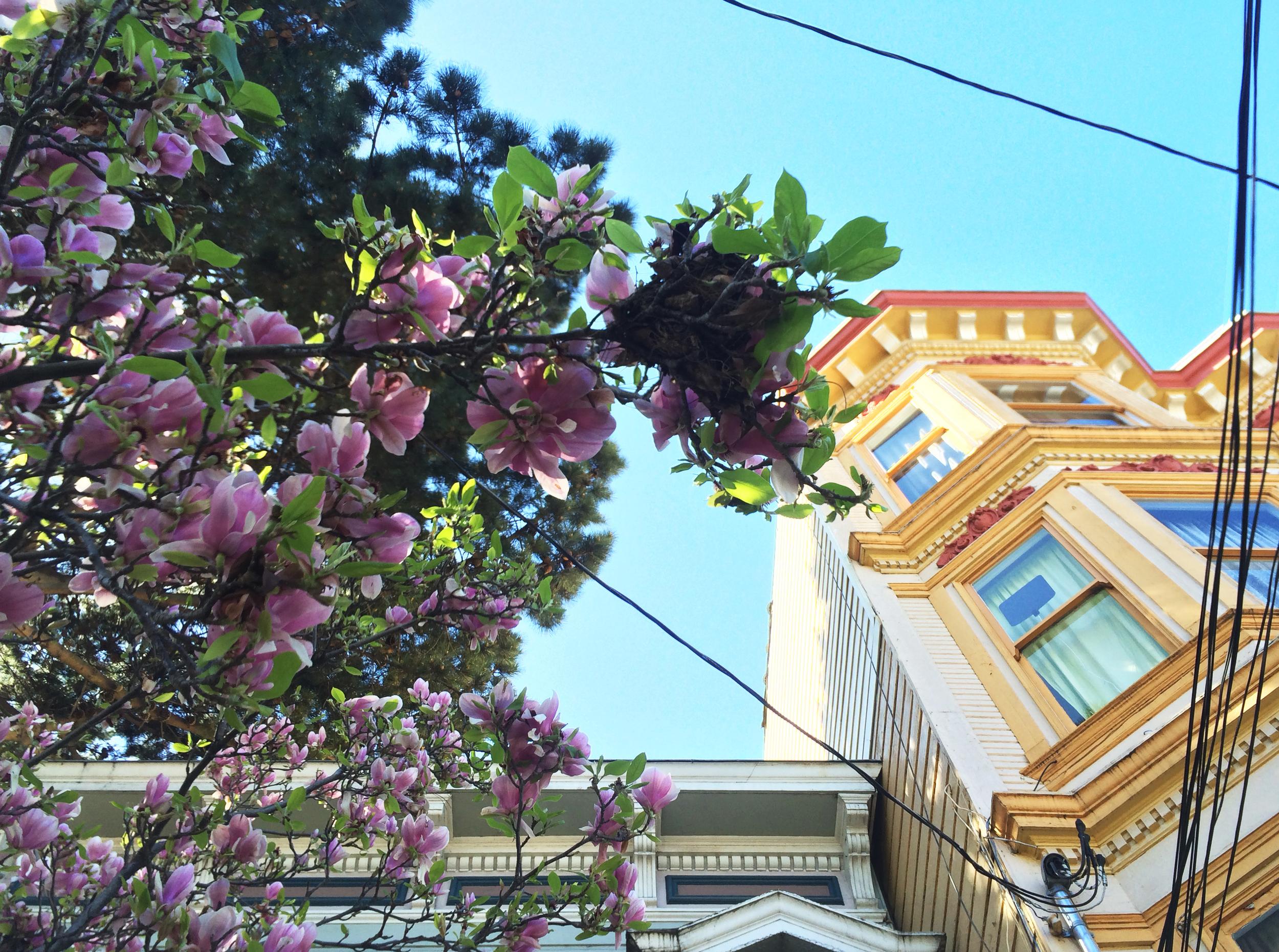 magnolia blooms san francisco architecture