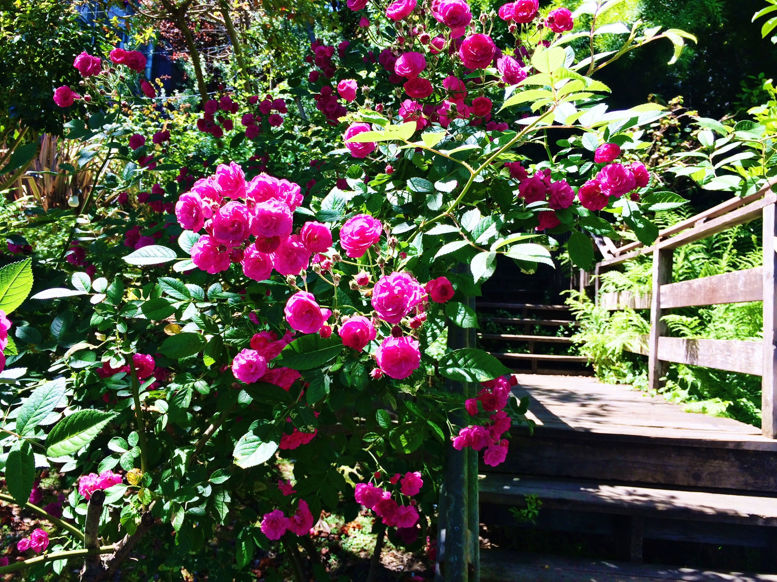 pink mini rose garden
