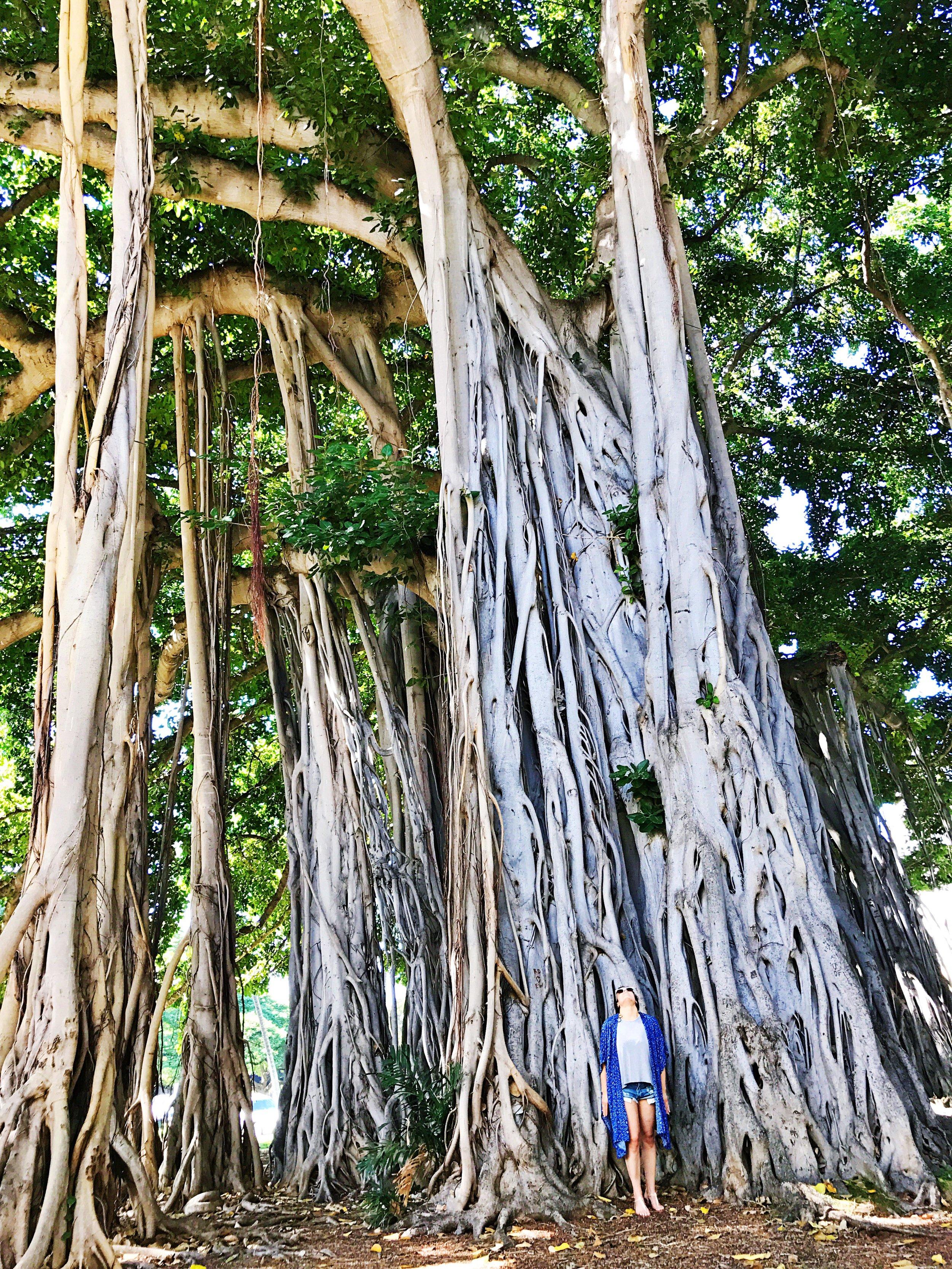 Honolulu Banyan Trees Oahu Hawaii Things to Do
