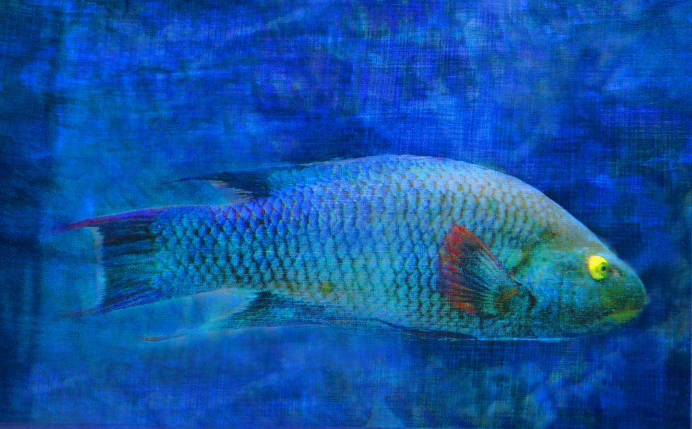 """Yellow-eyed grumpfish,"" alternative process photo, 30 X 49 in., © 2017 Bill Travis"