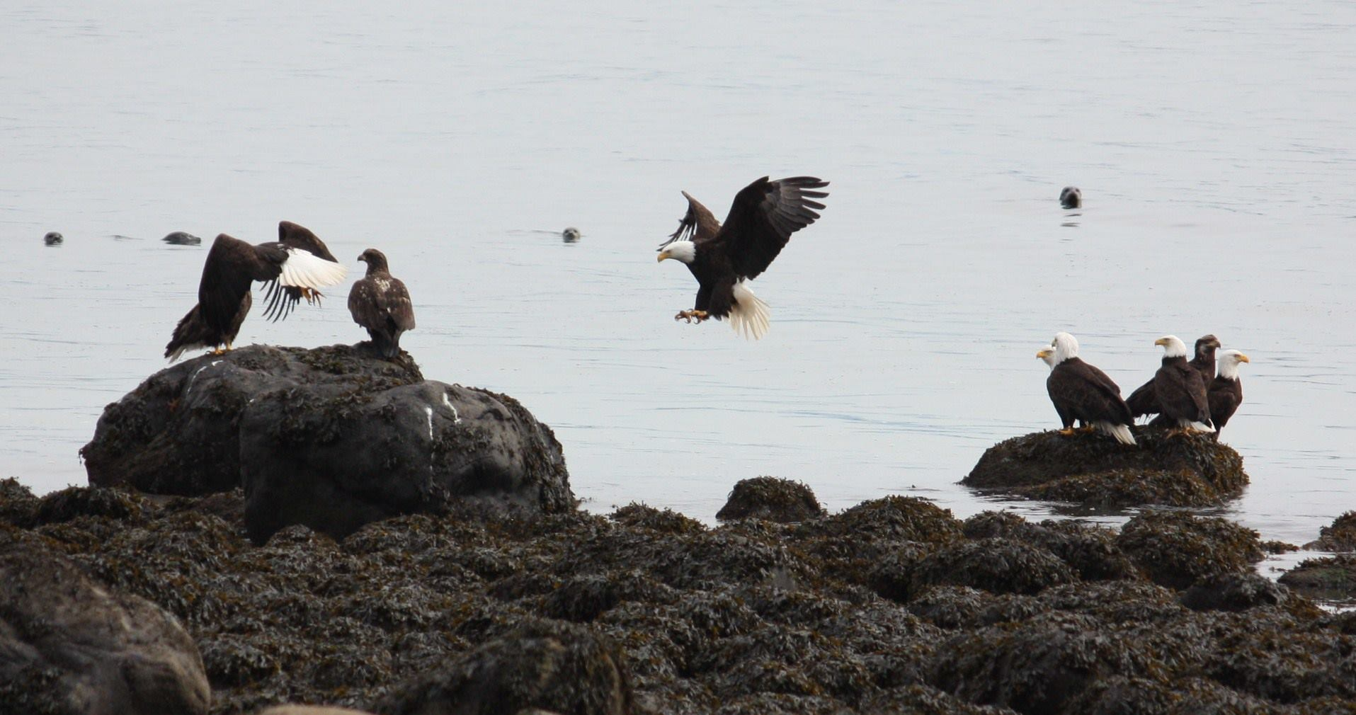 Pack of Bald Eagles on water_taken from SBV facebook page.jpg
