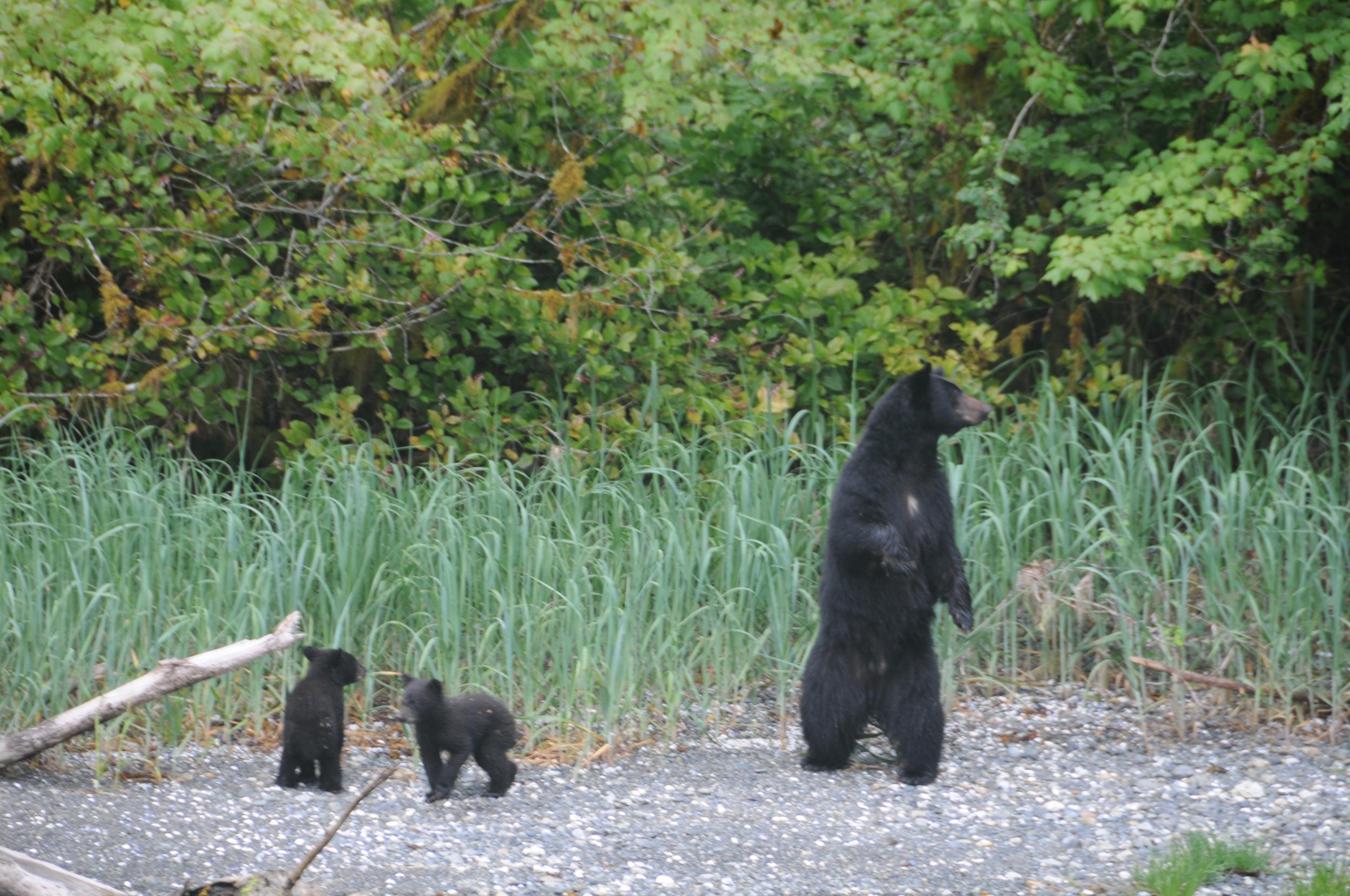 Black Bears.jpg