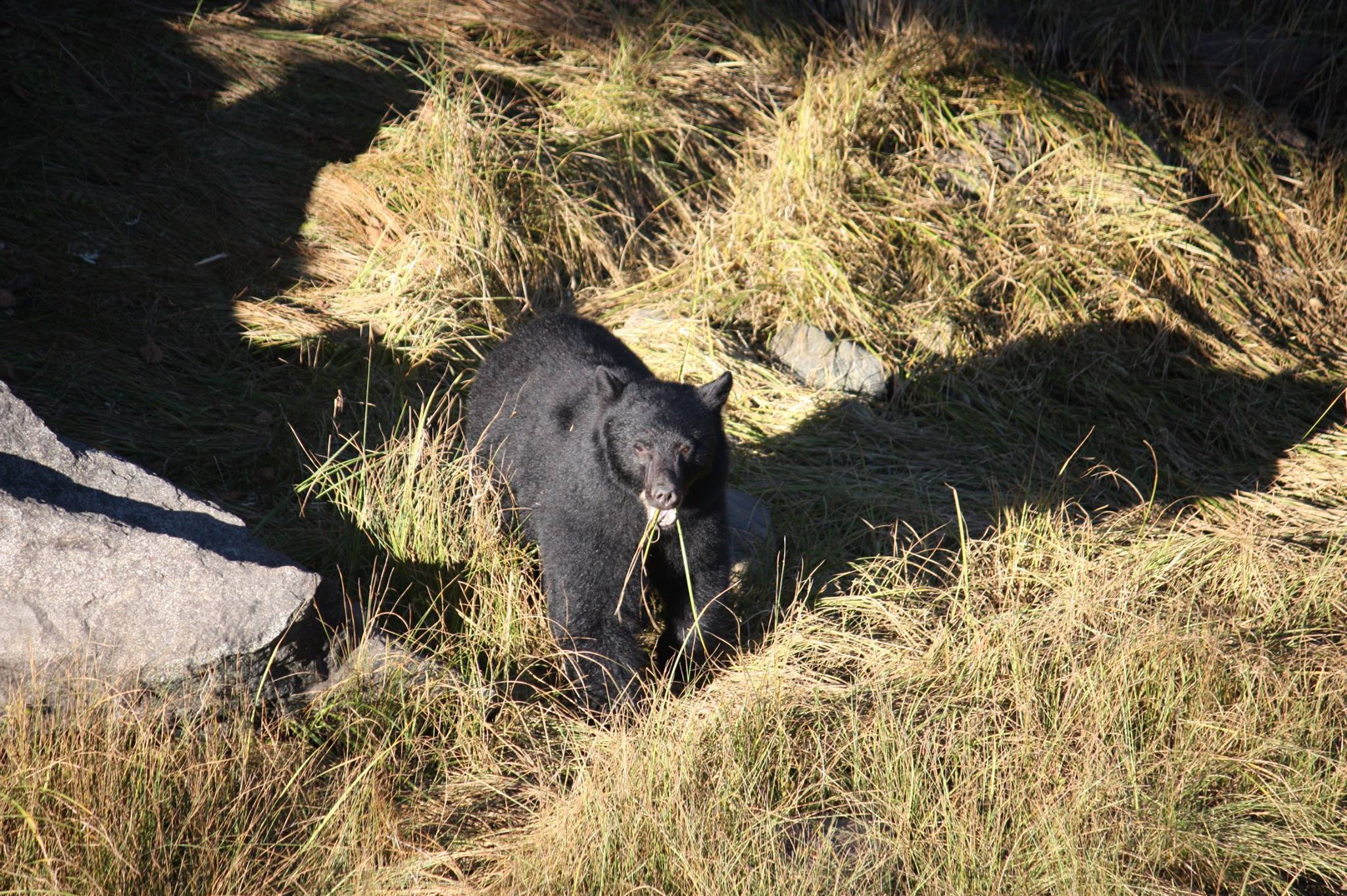 Bear in Salmon Beach_taken from SBV facebook page.jpg