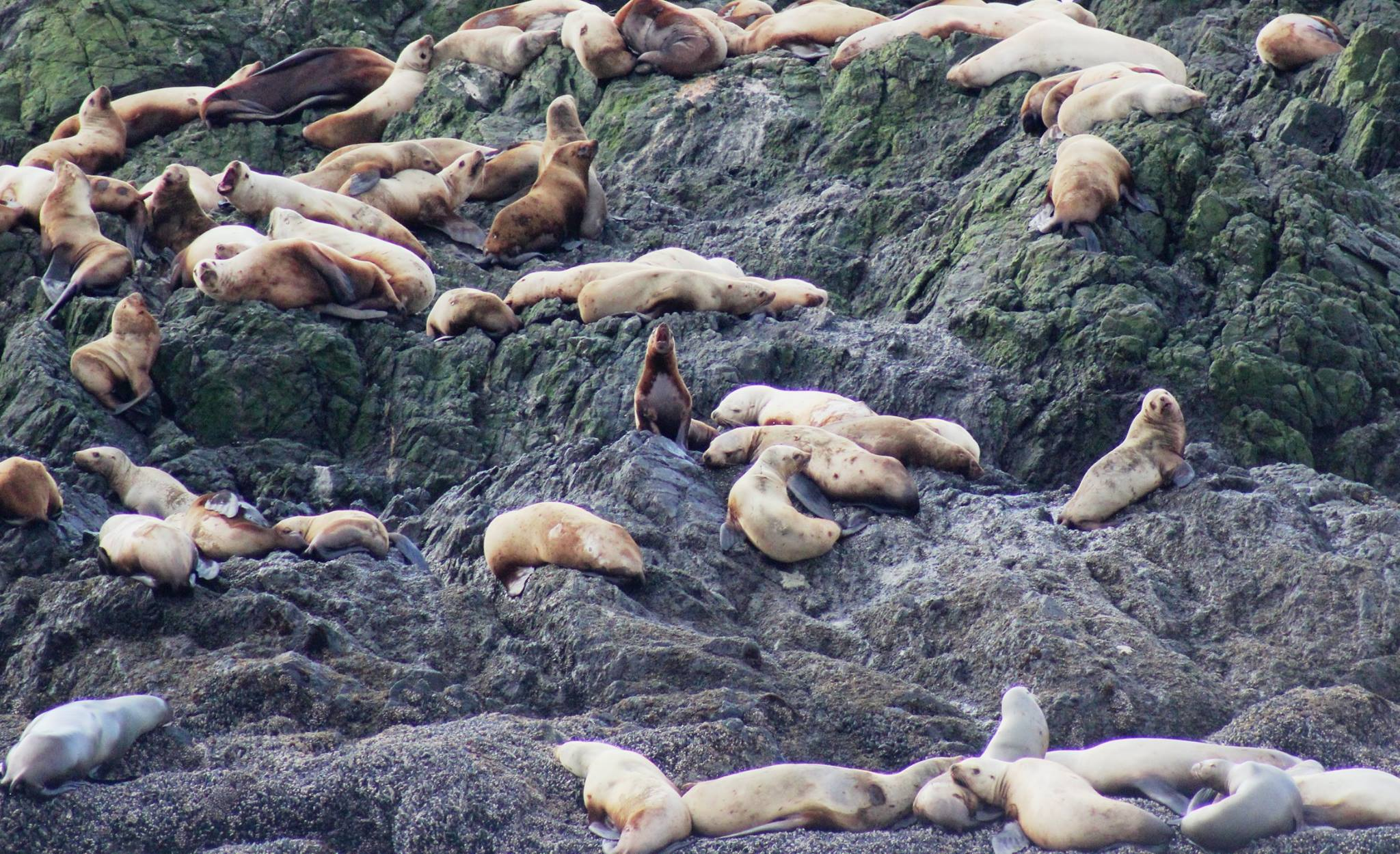 Sea lions up close_taken from SBV facebook page.jpg