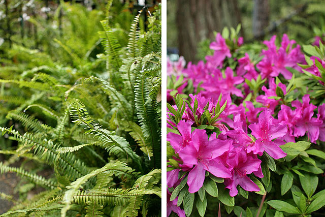 Native sword ferns and azaleas
