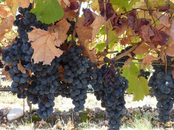 grapes-on-the-vine.jpg