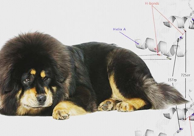 Tibetan Mastiffs (150-pound dogs) are 50% more efficient at transporting hemoglobin than lowland dogs. The breed may date as far back as 1,100BC and continues its guard duties living alongside the Tibetan people. #smithsonian #tibetanmastiff #tibet #altitude