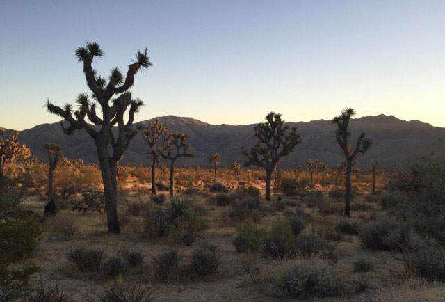 The end of the Lost Horse Mine Loop lets out in a wash full of beautiful Joshua Trees. Photo by Lindsay Hollinger.