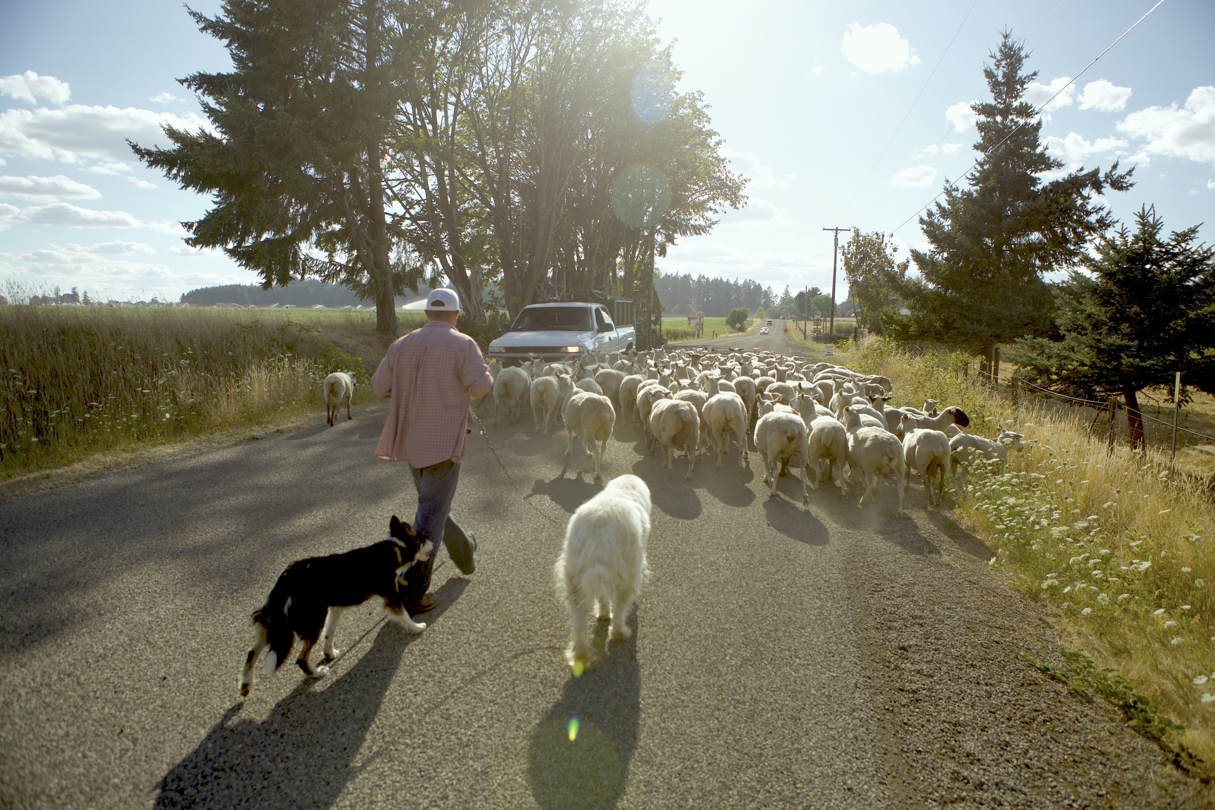 Joe Wells and his dogs driving his sheep through the roads of Willamette Valley.