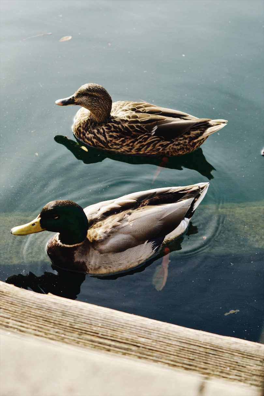 Disneyland-Ducks-Couple