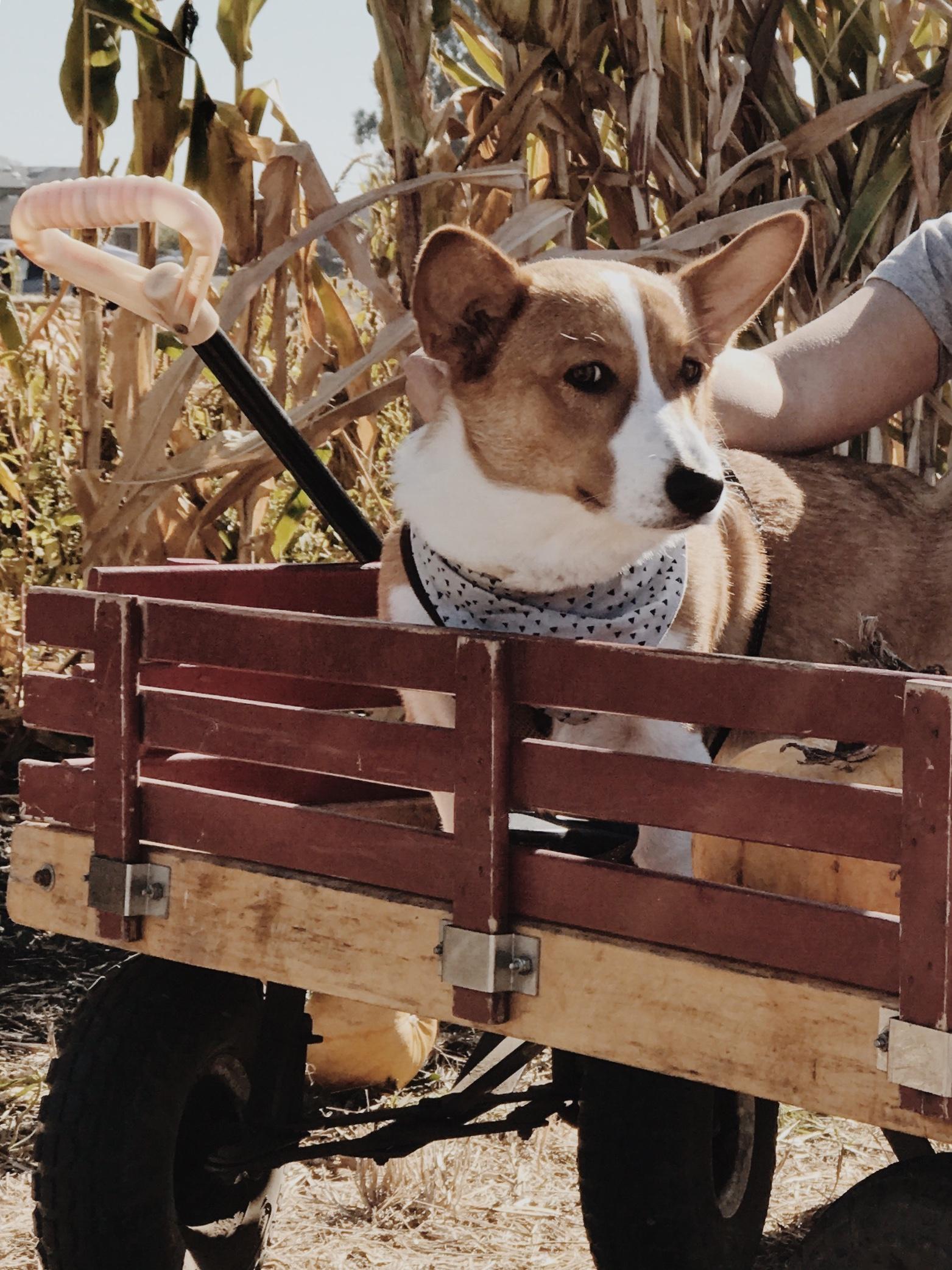 Pumpkin Patch Bay Area Farmer John's Dog Friendly Corgi Ollieforshort