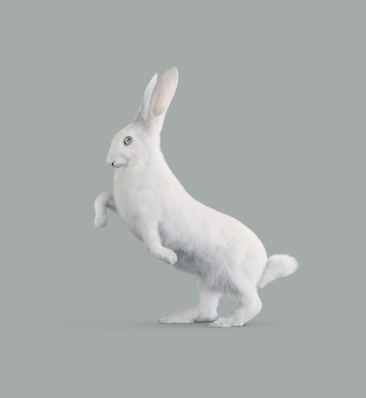 野兔   [Oryctolagus cognitivus]      85 x 78.3  厘米
