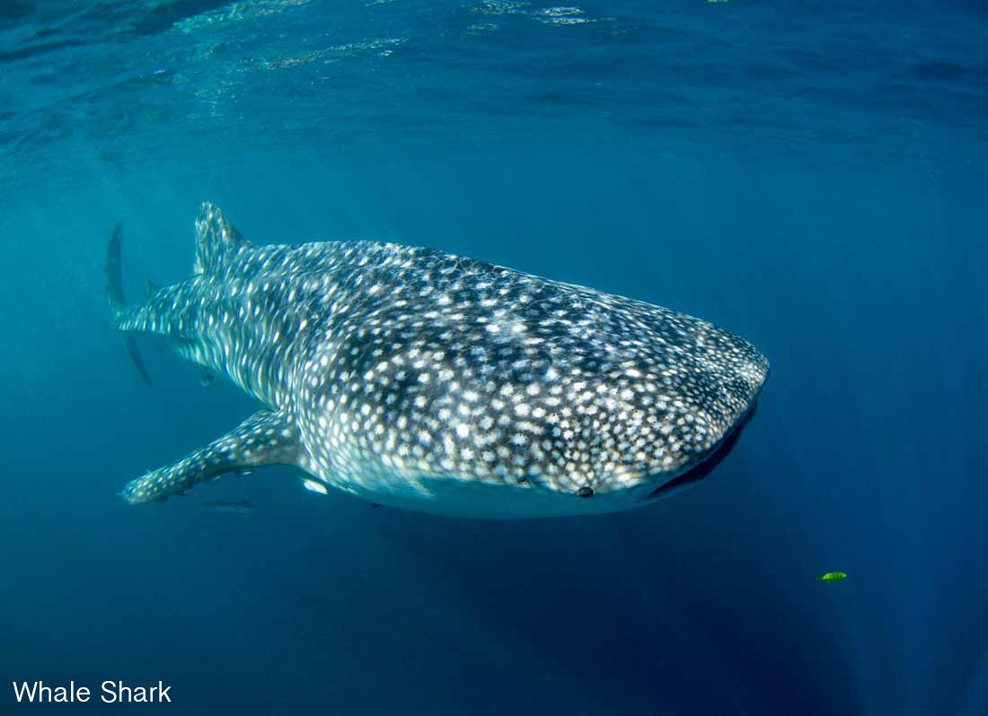 Copy of Whale Shark