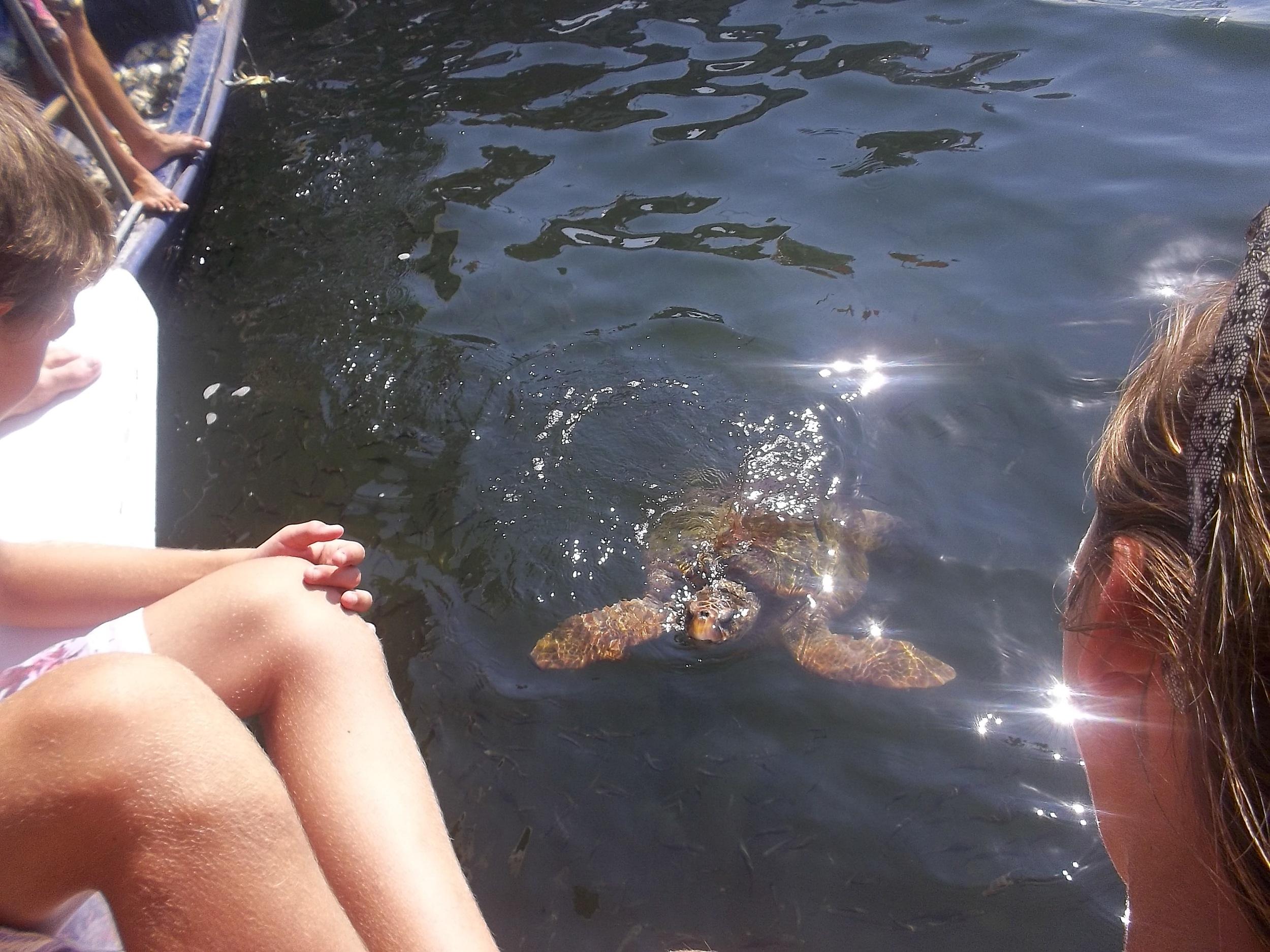 Up close with the local loggerhead sea turtles