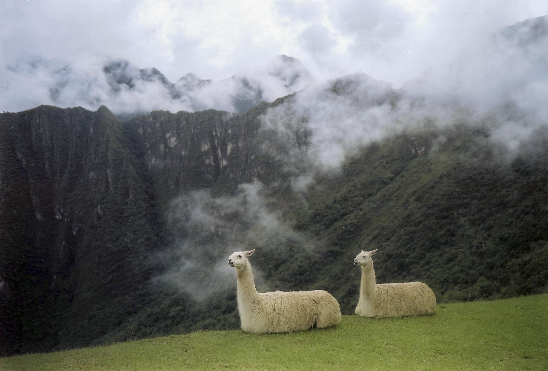 The Lamas of Machu Pichu, Peru