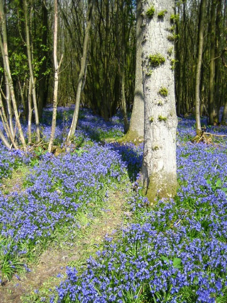 Bluebells in Scaynes Hill. Image courtesy of  scayneshill.webplus.net