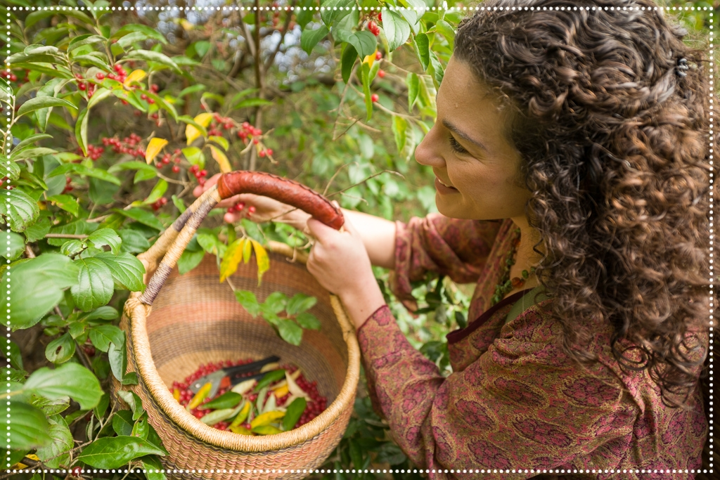 wildcrafting Autumn Olive berries