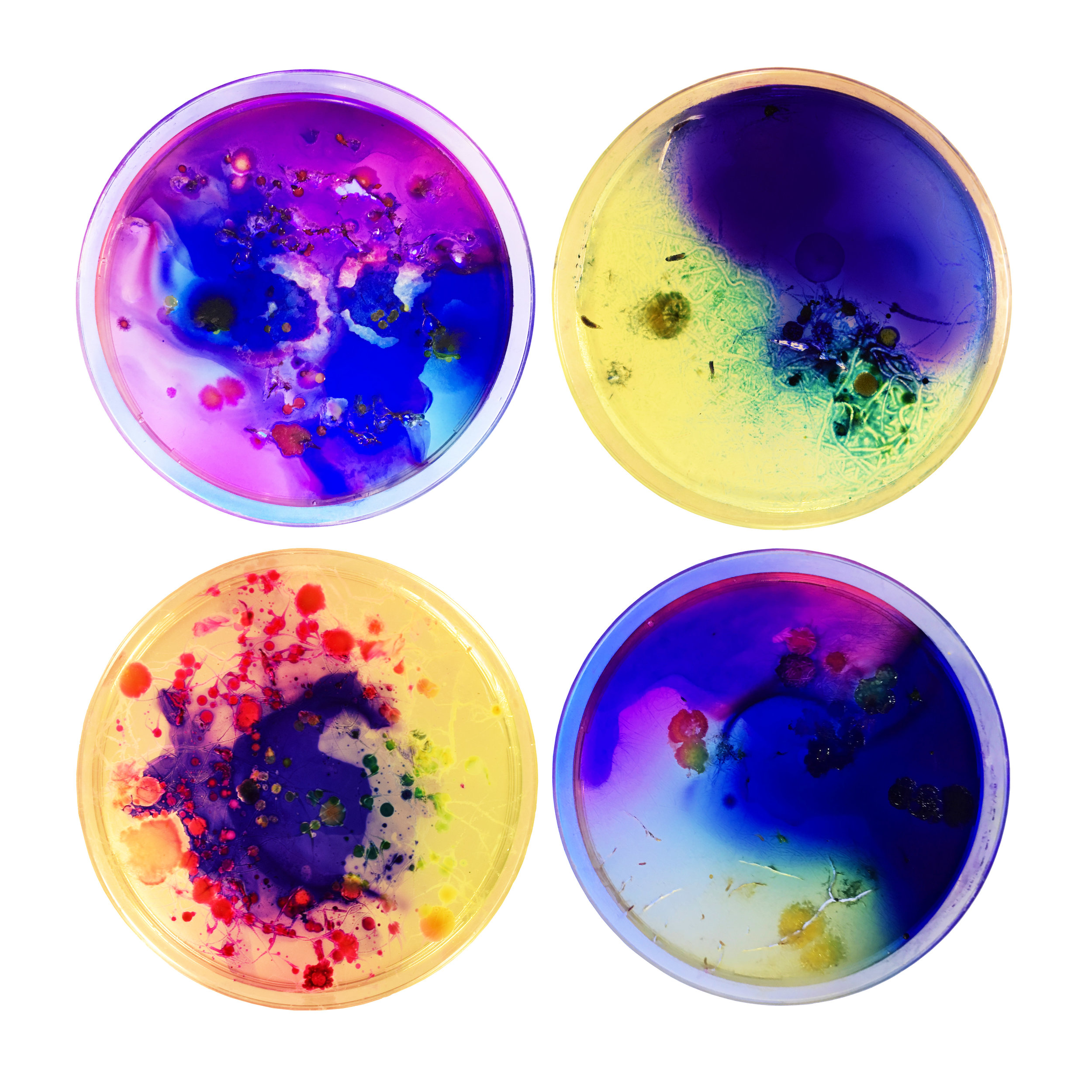 "2017  Four 3"" Petri Dishes  Agar, Bacteria and Bacteria Stain"