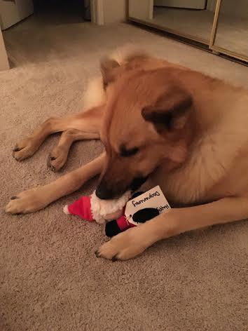 Tahoe with DogZenergy christmas toy.jpeg