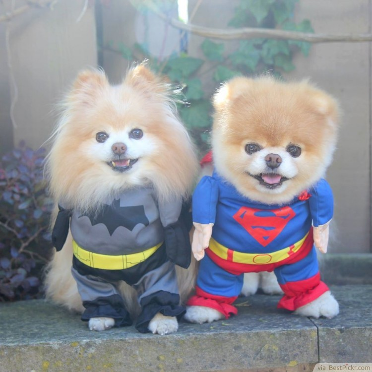 cute-dogs-batman-superman-costumes-750x750.jpg