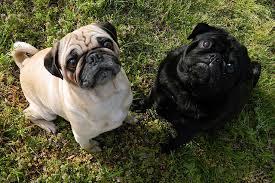 Pugs meet up.jpeg