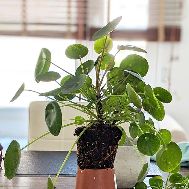 My lovely Mother Pilea has given me lots of children. I've only taken four though, as I feel sorry taking them away from her. 😍😊🌱🌳🌿☘️🍃🍃. . . #pilealove #pileapeperomioides #pilea