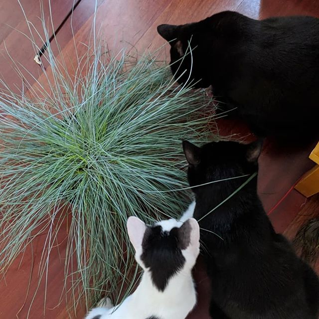 I love spoiling my cats! Today I found a Festuca Glauca, their favourite plant back in the UK, and bought it just for them. Proxy immediately started chewing on it, followed by Chibi. Pixel doesn't know what the whole deal is, yet he plays with it. . . #proxybaby #mylove #chibichan #tuxedocat #mytinylove #pixelboi #allcatsmatter #catsarebetterthanhumans #ilovecatsmorethanpeople